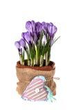 A mola fresca floresce açafrões Imagens de Stock