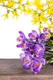 A mola fresca floresce açafrões Fotografia de Stock Royalty Free