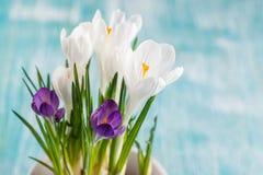A mola fresca floresce açafrões Fotos de Stock Royalty Free