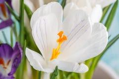 A mola fresca floresce açafrões Imagem de Stock Royalty Free
