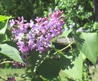 Mola lilás Foto de Stock Royalty Free