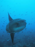 Mola mola pacific sun fish. Mola mola membo pacific sun fish from bali underwater Stock Photography