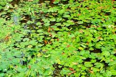 Mola-Nymphaea L da folha de Lotus Fotografia de Stock Royalty Free