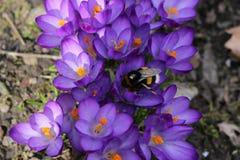 Mola O zangão nos açafrões violetas recolhe o néctar Imagem de Stock