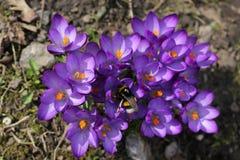 Mola O zangão nos açafrões violetas recolhe o néctar Imagens de Stock Royalty Free