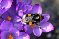 Mola O zangão nos açafrões violetas recolhe o néctar Foto de Stock Royalty Free