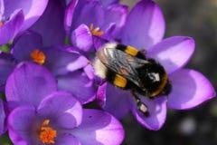 Mola O zangão nos açafrões violetas recolhe o néctar Fotos de Stock
