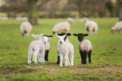 A mola paire carneiros do bebê em um campo Imagens de Stock Royalty Free