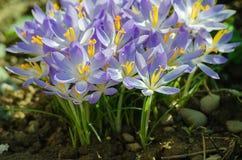 A mola pequena próxima da foto floresce açafrões Foto de Stock Royalty Free