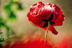 Mola Poppy Flowers Foto de Stock Royalty Free