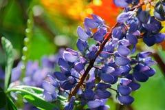 Mola que floresce cores brilhantes Foto de Stock Royalty Free