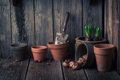 A mola recentemente crescida floresce em uma oficina de madeira velha Imagem de Stock