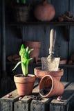 A mola recentemente crescida floresce em uma vertente de madeira velha Fotografia de Stock Royalty Free