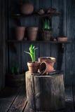 A mola Repotting floresce em uma oficina de madeira velha Imagens de Stock