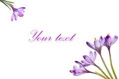 A mola roxa floresce o açafrão isolado no fundo branco Fotografia de Stock Royalty Free