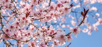 A mola sazonal floresce o fundo das árvores Fotos de Stock Royalty Free