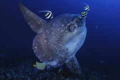 Mola Mola Sunfish Getting Cleaned por peixes da bandeira em Bali foto de stock royalty free