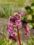 A mola tem vindo já - florescência das flores do bergenia Fotografia de Stock Royalty Free