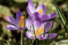A mola veio, anêmonas e açafrões na flor completa imagem de stock