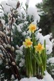 A mola vem, catkin do salgueiro e daffodil imagem de stock royalty free