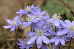 Mola violeta azul Imagem de Stock Royalty Free