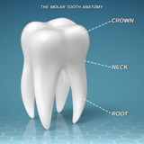 Molar anatomy - crown, neck and root of tooth. Vector illustration Royalty Free Stock Image