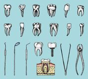 Molar teeth enamel, dental set. instruments equipment of the dentist doctor. oral cavity clean or sick. health or caries. Molar teeth enamel, dental set Stock Photography