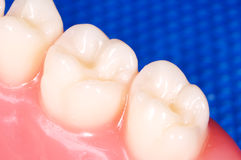 Molars Royalty Free Stock Images