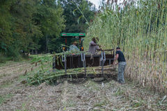 Molasses Making. This is the first stage of the molasses making process. Workers go into the field and harvest the sorghum cane Stock Photo
