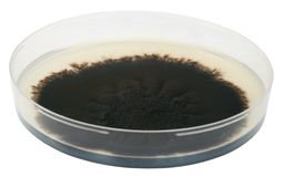 Mold. Large mold colony on a microbiological medium in a Petri dish isolated on white with clipping path. Molds are microscopic fungi, that grow in the form of Stock Photo