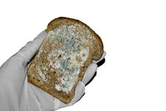 Mold on the bread in hand Stock Images