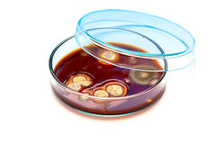 Mold growing in a Petri dish Royalty Free Stock Image