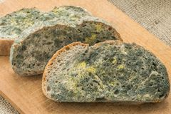Mold growing rapidly on moldy bread in green and white spores. stock photos