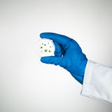 Mold specimen in petri dish. Petri dish with developing mold specimen held by a hand in a blue rubber glove and a white lab coat Royalty Free Stock Images
