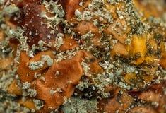 Mold spores on rotten apple Stock Photos