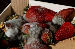 Mold strawberries Stock Photos