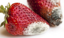 Mold on strawberries Royalty Free Stock Photos