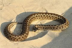 Moldavian meadow viper on sand. Vipera ursinii moldavica ; this is one of the rarest snakes in Europe, listed as criticaly endangered on IUCN red list Stock Photo