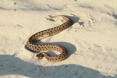 Moldavian meadow viper on sand Royalty Free Stock Image