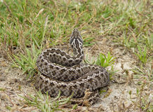 Moldavian steppe viper dorsal pattern Stock Photos