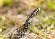 Moldavian steppe viper Royalty Free Stock Photography