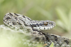 Moldavian steppe viper Royalty Free Stock Image