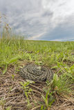 Moldavian steppe viper Royalty Free Stock Images