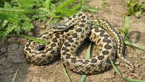 Moldavian Steppe Viper Royalty Free Stock Photo