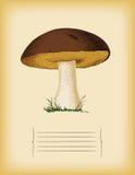 Molde de papel velho com cepa-de-bordéus do cogumelo. V imagens de stock