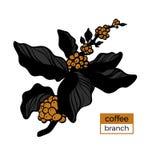 Molde do ramo da cor da árvore de café com folhas e os feijões de café naturais Ilustração do vetor Imagem de Stock Royalty Free