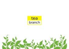 Molde do ramo verde do arbusto do chá Ilustração da natureza Vetor Fotografia de Stock