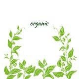 Molde do ramo verde do arbusto do chá Ilustração da natureza Vetor Fotos de Stock