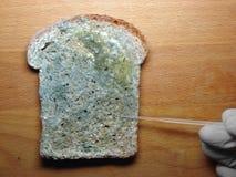 Molde en el pan foto de archivo libre de regalías