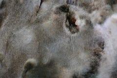 Molde en la ampliaci?n de la fruta de la comida textura del molde tóxico con los puntos gris oscuro, blancos y rojos Fondo natura imagen de archivo libre de regalías
